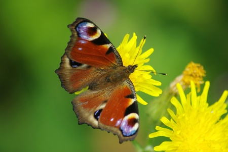 A beautiful flying creature exhibits amazing shades of red and brown has landed on a bright yellow flower. green background.