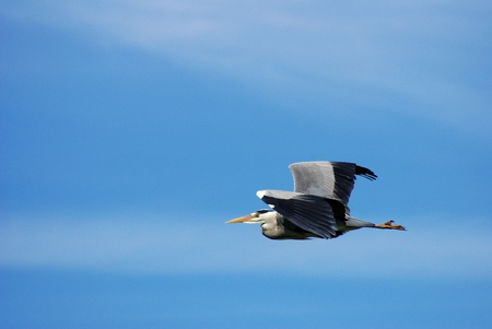 The majesty of a large grey heron, shown in detail against a nuances blue sky. I wonder what is his journey like... The picture was taken in a swamp North of Amsterdam. Stock Photo - 11210517