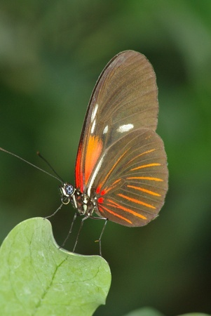 A beautiful flying creature with spotted blue eyes exhibits amazing shades of red and brown has landed on a bright green leaf