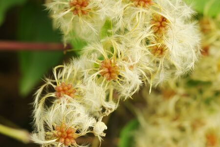 A close up picture of a bunch of fluffy mountain plants found on the side of a hike path in Greece.