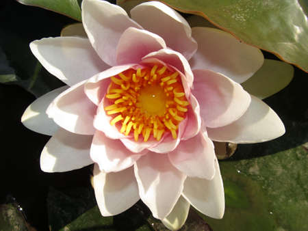 flowering pink waterlily on the pond photo