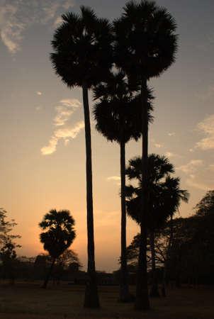 cambodian palm: Palme cambogiani