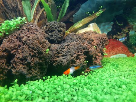 Two neon tetra fish following a platy fish.