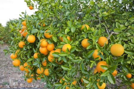 Orange orchards in Valencia, Spain