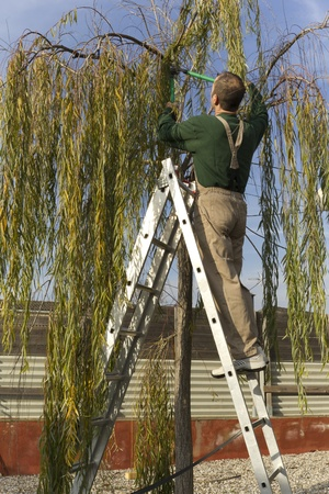 Gardener pruning the branches of a willow tree in autumn