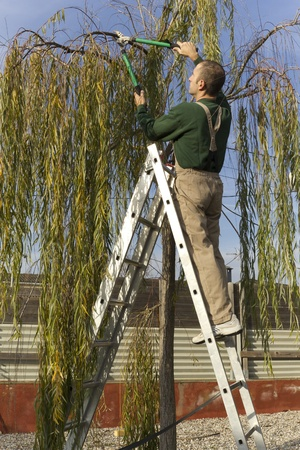Gardener pruning the branches of a willow tree in autumn photo