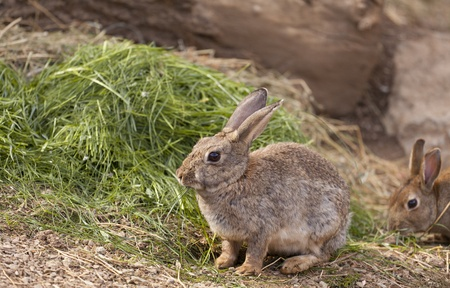 Brown wild rabbit eating grass in the field