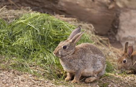 Brown Wildkaninchen fressen Gras auf dem Gebiet