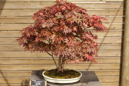 acer palmatum: It is a shrub or small deciduous tree bonsai become