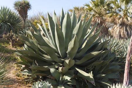 plants species: Agave marmorata, una specie piuttosto insolito di medie dimensioni e un nativo di Oaxaca, Messico