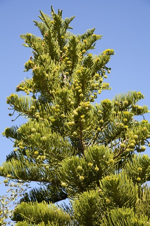 Also known as Norfolk pine because it was on that island in the Pacific Ocean photo