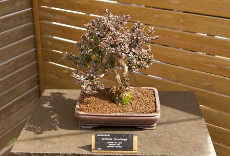 Berberis thunbergii Bonsai own in Japan and West Asia Stock Photo - 13527368