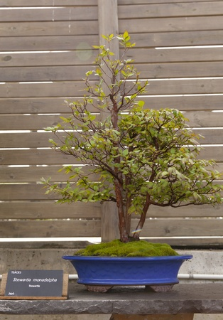 Stewartia Bonsai monadelpha originating from Japan Stock Photo - 13527355