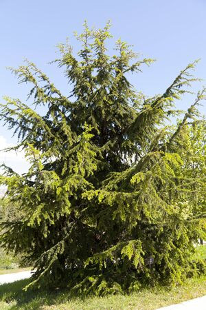 libani: Cedrus libani is a species of cedar native to the mountains of the Mediterranean region Stock Photo