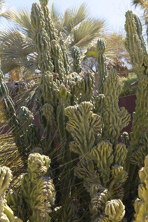 cactus species: Cereus hildmannianus es una especie de cactus desde el sur de Am�rica del Sur