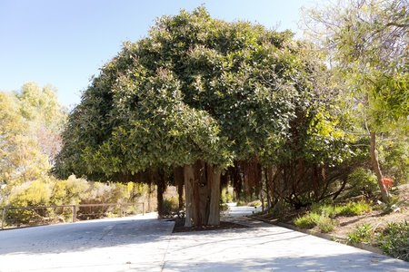 port jackson: Ficus rubiginosa, the Port Jackson Fig tree, fig leaf fig girls or moldy Stock Photo