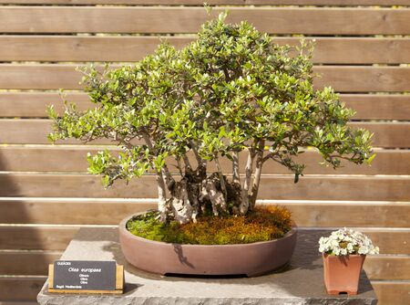 Bonsai Olea europaea, olive or olive tree is an evergreen tree, long-lived photo