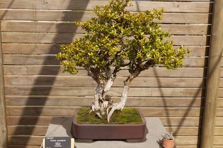 Bonsai Punica granatum, the pomegranate is a branched shrub or small tree Stock Photo - 13527375