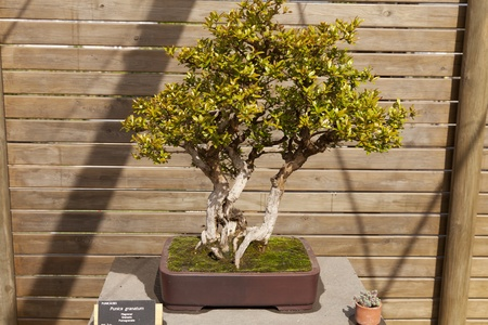 punica granatum: Bonsai Punica granatum, the pomegranate is a branched shrub or small tree Stock Photo