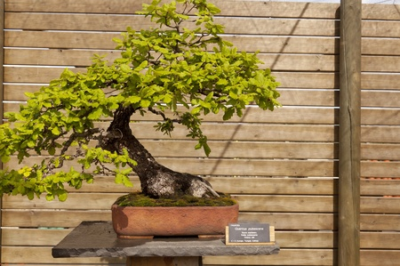 fagaceae: Bonsai pubescent oak is a deciduous tree belonging to the family of Fagaceae