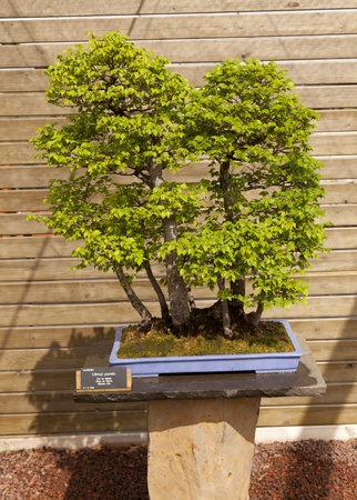 Bonsai Siberian elm is native to Central Asia, in eastern Siberia, Mongolia Stock Photo - 13527383