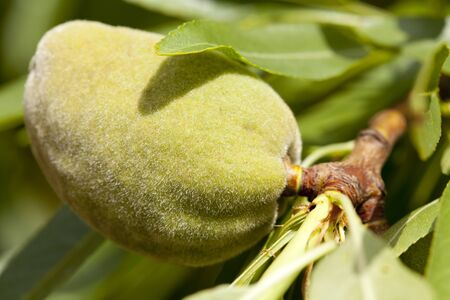 Close up of green almond fruit photo