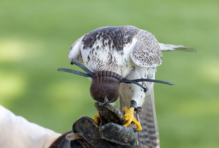 Lanner falcon from the hand of the caregiver and the cap on