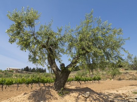 long lived: Olea europaea, olive or olive tree is an evergreen tree, long lived