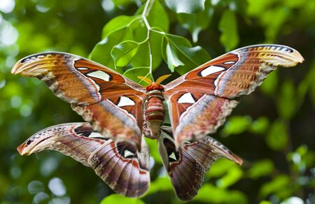 all one:  atlas moth during intercourse are all one day