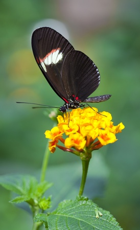 forewing: The Postman butterfly has large long wings with an orange stripe down each forewing Stock Photo