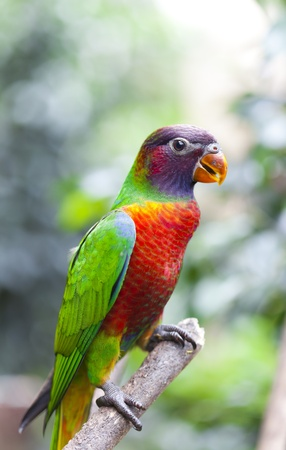 psittacidae: The yellow bib lori (Lorius chlorocercus) is a species of bird in the parrot family (Psittacidae) that inhabit the jungles of New Guinea and the Solomon Islands