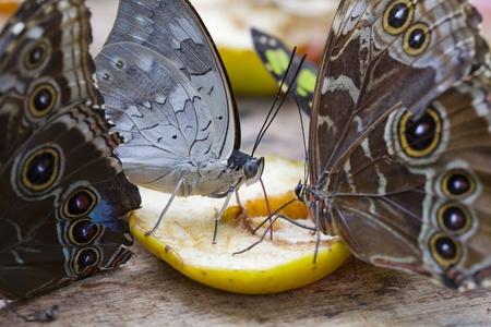 butterflies nectar: Several butterflies feeding on nectar of fruit Stock Photo