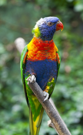 psittacidae: The Rainbow Lorikeet (Trichoglossus haematodus) is a species of bird in the parrot family (Psittacidae) distributed by New Guinea, Indonesia, Timor, Vanuatu, Solomon Islands
