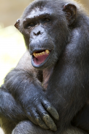 chimpanzees: Close-up di una bella scimpanz�