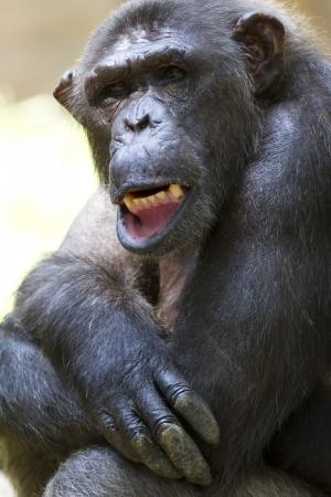 chimpances: Primer plano de una hermosa chimpanc�s
