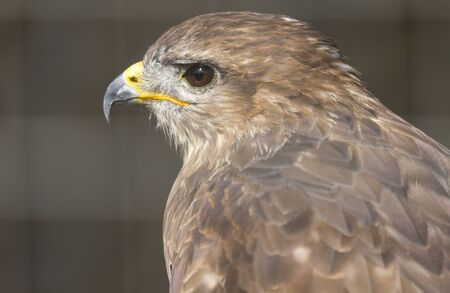cherrug: saker falcon