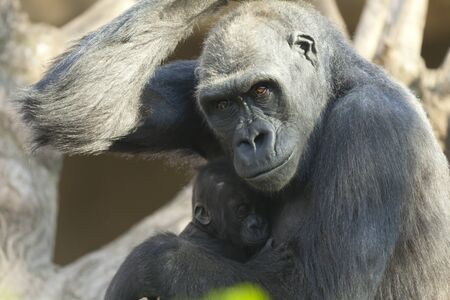 cradling: Coast Gorilla cradling her newborn calf Stock Photo