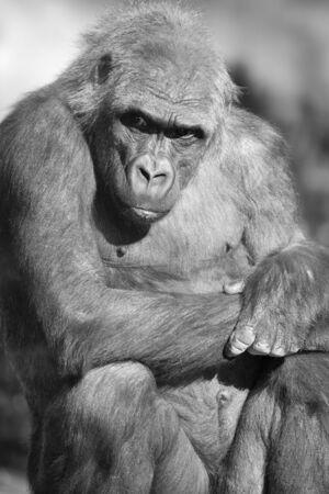 Beautiful closeup of a gorilla sitting coast Stock Photo - 16770736