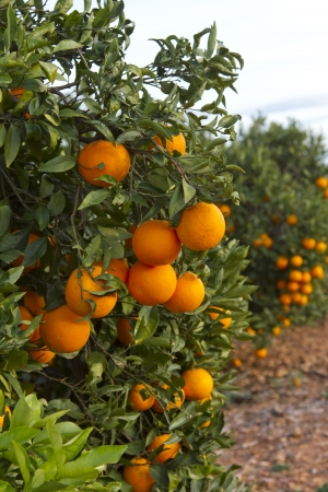 Orangenplantagen in Valencia, Spanien Lizenzfreie Bilder
