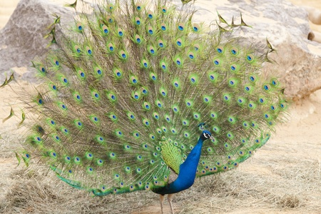 zeal: Peacock with full plumage in mating season open Stock Photo