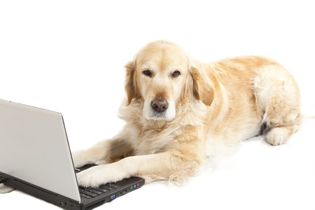 Golden retriever bored using a laptop