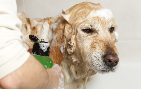 A dog taking a shower with soap and water photo