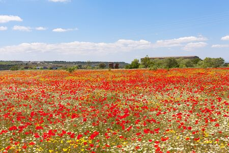 Meadow of poppies and blue sky with clouds photo