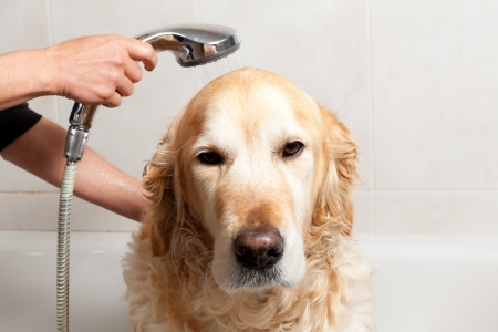 Un perro de tomar una ducha con agua y jab?n