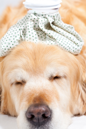 pet care: Dog with a bag of cold water on his head Stock Photo