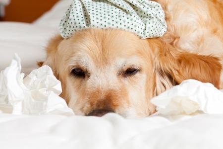 Perro con una bolsa de agua fr�a en la cabeza