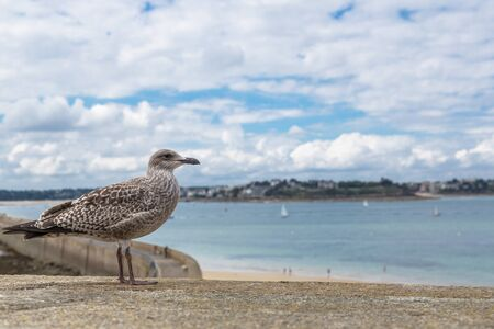 st  malo: Seagull perched on the wall of St. Malo, France Stock Photo