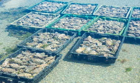 Growing oysters at low tide at the port of Cancale, France photo