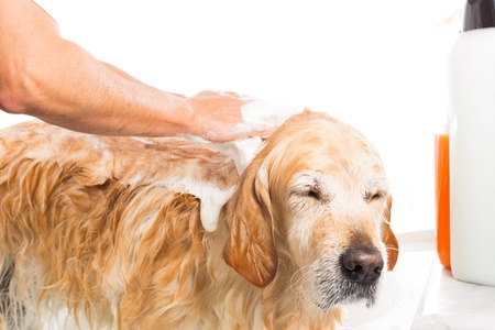 bath time: A dog taking a shower with soap and water