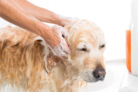 Un perro de tomar una ducha con agua y jab?n Foto de archivo - 22414437